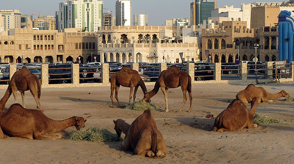 Camels outside Souq Waqif