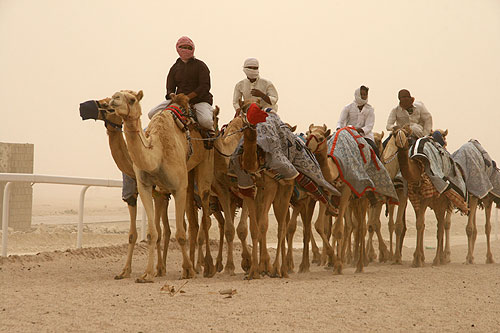 Camels exercising